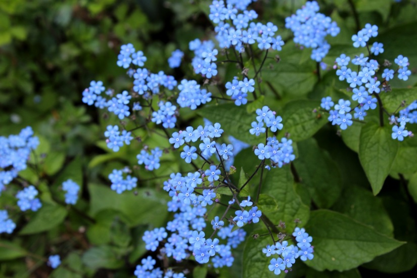 blue forgetmenots