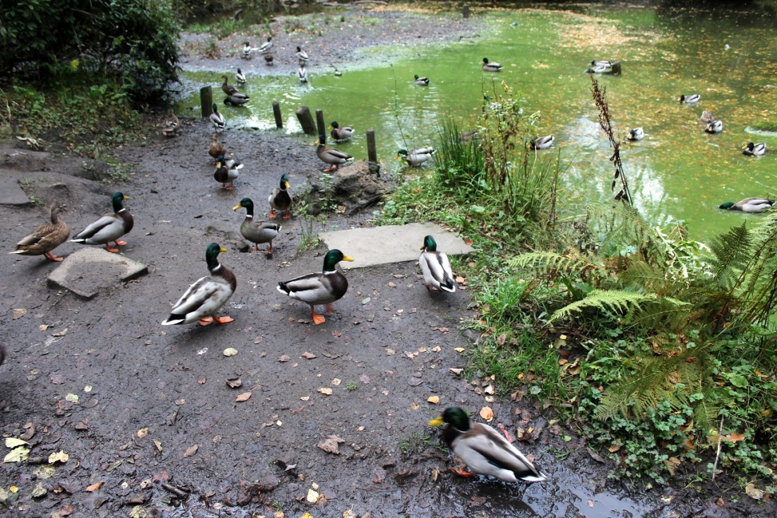 ducks r awesome3