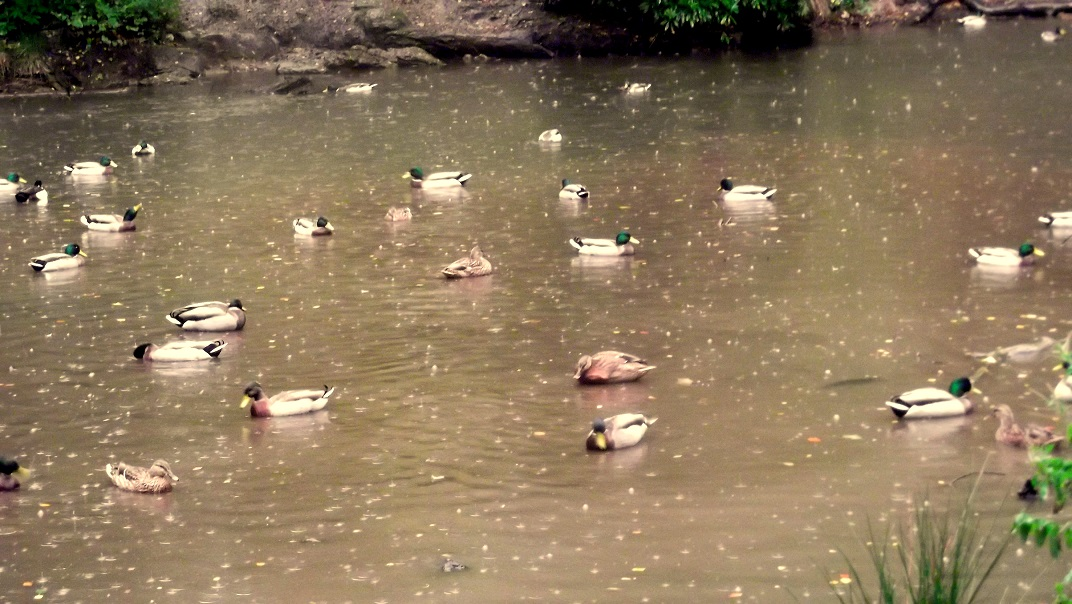 ducks unbothered