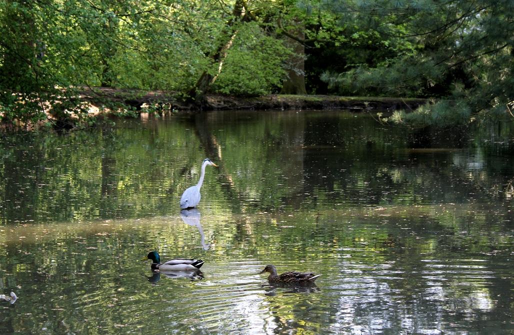 ducks with heron