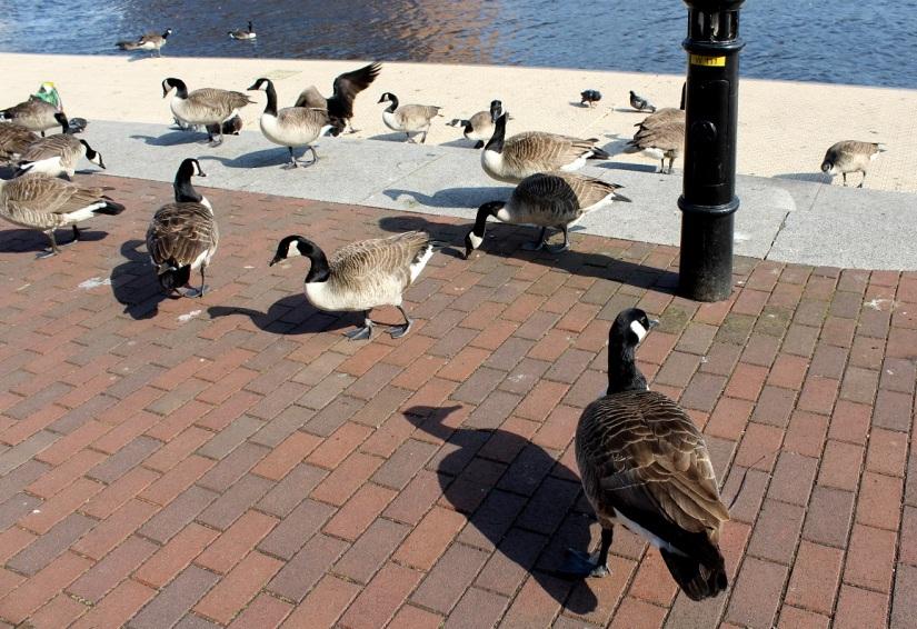 geese food