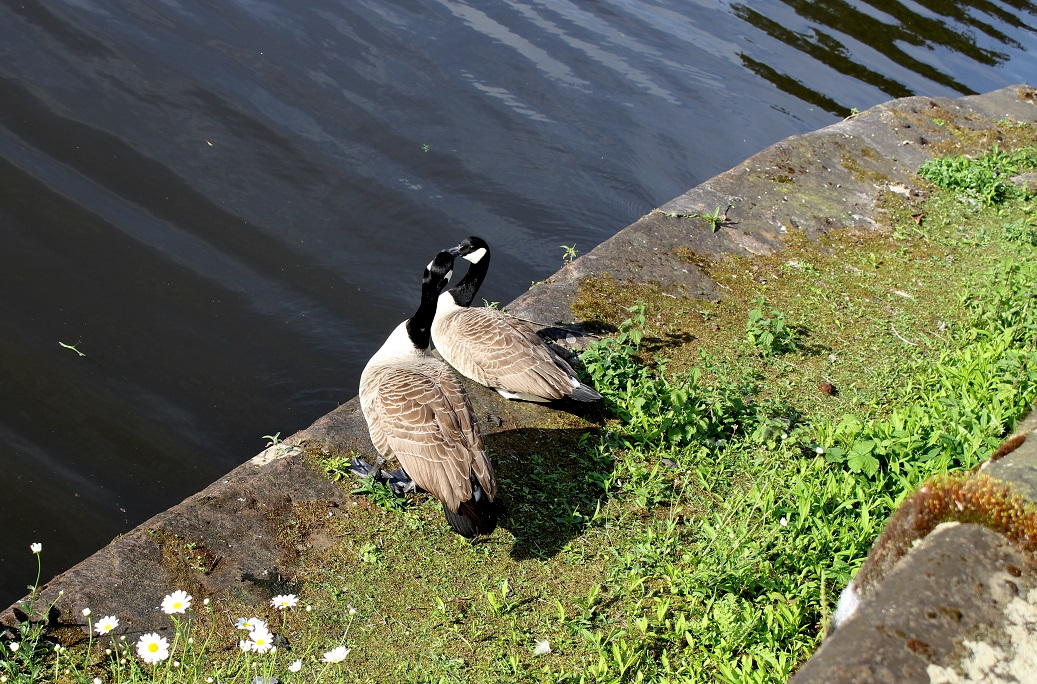 geese lovebirds