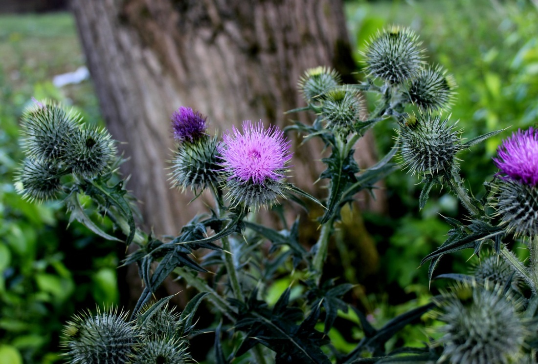 prickly