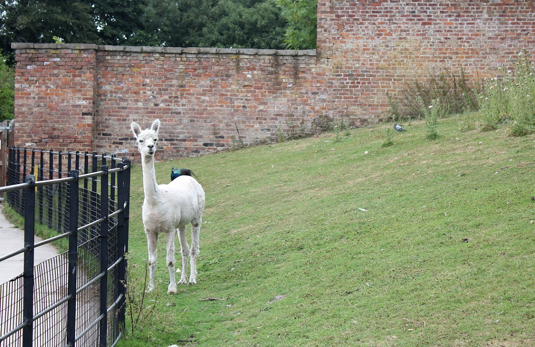 alpaca heatonpark1