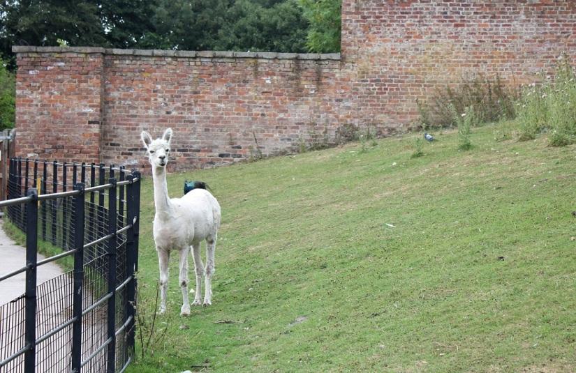 alpaca heatonpark1