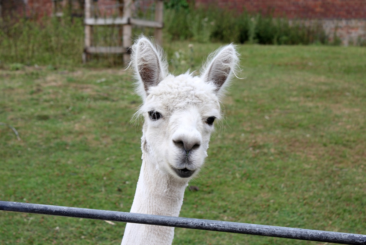 alpaca heatonpark2