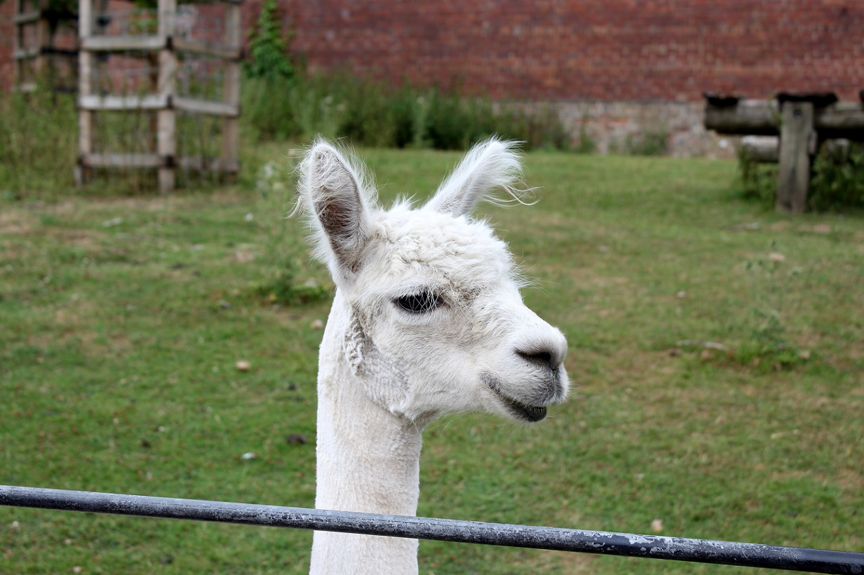 alpaca heatonpark3