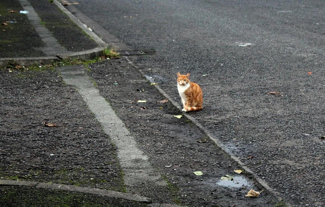 ginger cat in grey1
