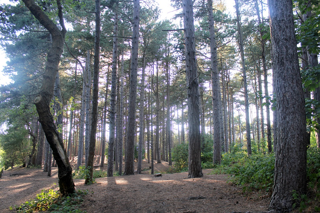 formby pinewoods