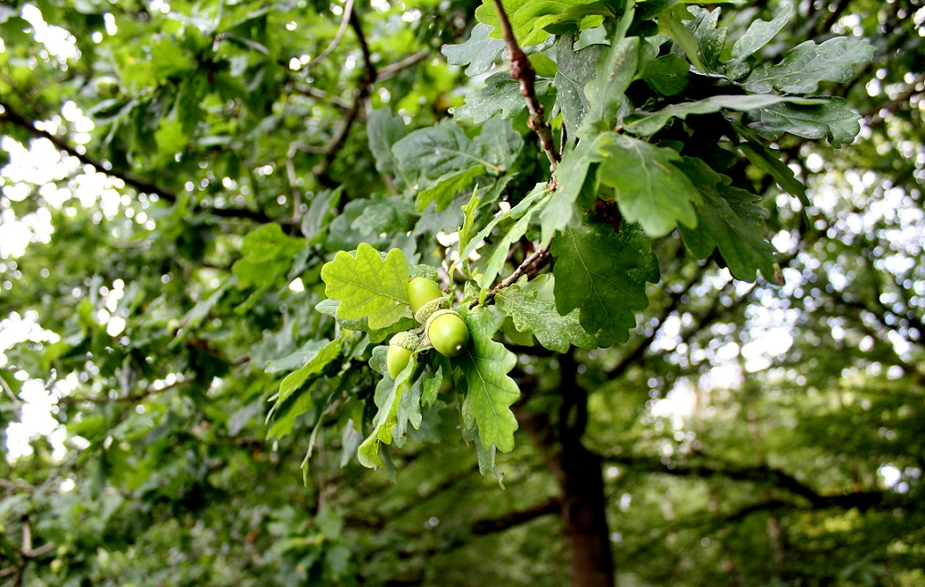 green acorn1