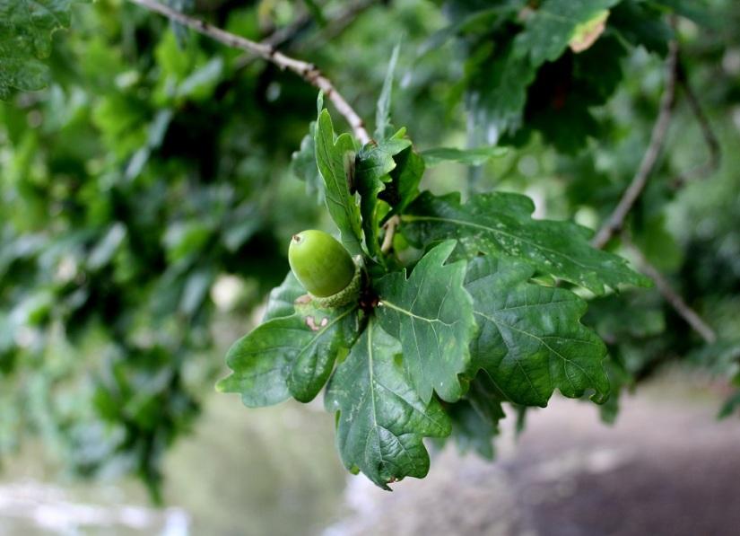 green acorn2